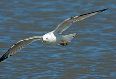 Ring Billed Gull in Flight. Close up image of a Ring Billed Gull (larus delawarensis) in Flight royalty free stock photos