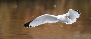 Ring Billed Gull in Flight. With wings spread royalty free stock photography