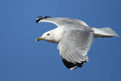 Ring Billed Gull in Flight Royalty Free Stock Images