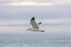 Ring-billed Gull. In flight Royalty Free Stock Photo