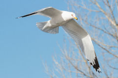 Ring-billed Gull in Flight. Ring-billed gull flying through a clear blue sky Stock Photography