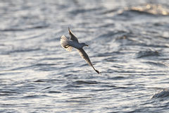 Ring-billed Gull in Flight Royalty Free Stock Image