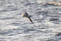 Ring-billed Gull in Flight. Ring-billed Gull (Larus delawarensis) in Flight Over Lake Huron - Grand Bend, Ontario Royalty Free Stock Image