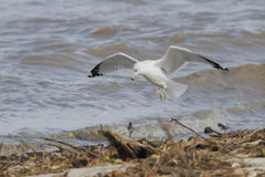 Ring-billed Gull in Flight Looking for Food Stock Photo
