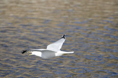 Ring-billed Gull in Flight Stock Photos