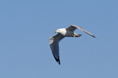 Ring-billed gull in flight Royalty Free Stock Images