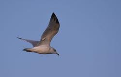 Ring billed Gull in flight. Ring billed Gull , 1st year, juvenile in flight Stock Images