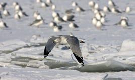 Ring-billed Gull flying Stock Photo