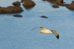 Ring Billed Gull. A Ring Billed Gull flying around looking for fish in the waters of Keystone Lake located in Tulsa County, Oklahoma 2017 Stock Photography
