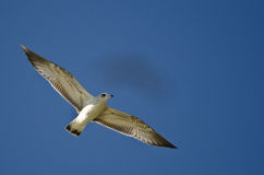 Ring-Billed Gull Flying in a Clear Blue Sky Stock Image