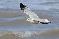 Ring-billed Gull Flying Over Waves Stock Image