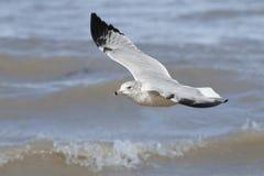 Ring-billed Gull Flying Over Waves. Ring-billed Gull (Larus delawarensis) Flying Over Waves - Lake Huron, Ontario, Canada Stock Image