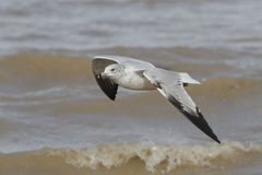 Ring-billed Gull Flying Over Waves. Ring-billed Gull (Larus delawarensis) Flying Over Waves - Lake Huron, Ontario, Canada Royalty Free Stock Photography