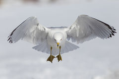Ring billed gull Stock Photos