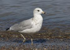 Ring-billed Gull foraging on a Lake Huron beach Stock Photo