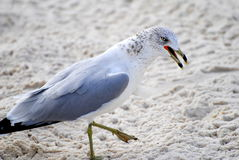 Ring billed gull Royalty Free Stock Photo