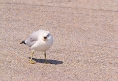 Ring-Billed Gull on the Ground. Ring-Billed Gull (Larus delawarensis) on the ground, with open bill, in Chesapeake Beach, Maryland USA royalty free stock images