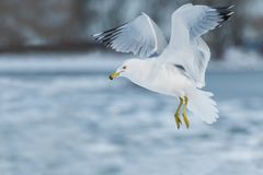 Ring-billed Gull. Hovering over water Stock Image