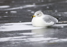 Ring-billed gull on ice. Stock Photography