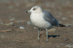Ring-billed Gull. Juvenile Ring-billed Gull standing on the beach Stock Photos