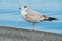 Ring-billed Gull. Juvenile Ring-billed Gull standing on the beach Stock Image