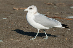 Ring-billed Gull. Juvenile Ring-billed Gull standing on the beach Stock Photography