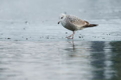 Ring-billed Gull. Juvenile Ring-billed Gull walking along the edge of the ice Stock Images