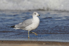 Ring-billed Gull on a Lake Huron Beach - Ontario, Canada Royalty Free Stock Photography