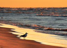Ring-billed Gull on Lake Huron beach at sunset Royalty Free Stock Photography