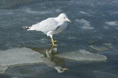 Ring billed gull in lake. Ring billed gull standing on ice in freezing winter lake with reflection in water Stock Photo