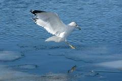 Ring billed gull landing on lake Stock Photography