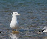 Ring Billed Gull Or Larus Delawarensis Photographie stock