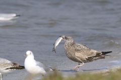 Ring-billed gull, larus delawarensis Royalty Free Stock Image