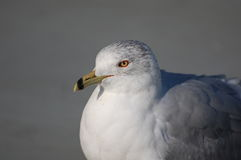 Ring-billed Gull, Larus delawarensis. The characteristic black band give the ring-billed gull its common name Royalty Free Stock Photo