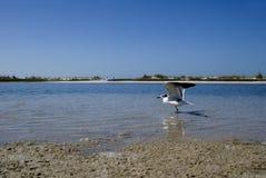 Ring-Billed Gull (Larus delawarensis) Royalty Free Stock Image
