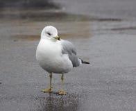 Ring-billed Gull. (Larus delawarensis Stock Photo