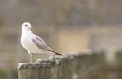 Ring-billed Gull (Larus delawarensis) Stock Image