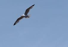 Ring Billed Gull Or Larus Delawarensis Royalty-vrije Stock Afbeeldingen