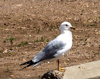 Ring Billed Gull Or Larus Delawarensis fotografia stock libera da diritti