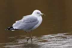 Ring-billed Gull (Larus delawarensis). Adult in winter plumage standing on ice on The Meer in New York's Central Park Royalty Free Stock Images