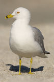 Ring-billed Gull, Larus delawarensis argentatus Royalty Free Stock Photo