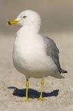 Ring-billed Gull, Larus delawarensis argentatus. Standing tan beach sand Royalty Free Stock Photo