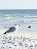 Ring-billed Gull (Larus delawarensis) Stock Photography