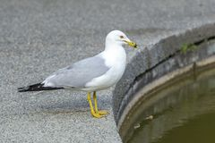 Ring billed gull in Spokane park. Royalty Free Stock Image