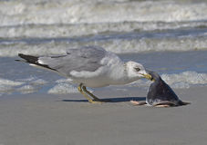 Ring billed Gull (Larus delawarensis) eating a fish. Royalty Free Stock Images