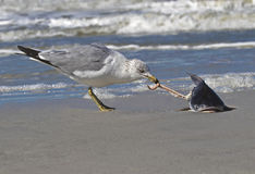 Ring billed Gull (Larus delawarensis) eating a fish. Stock Images