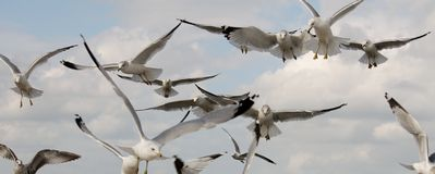 Ring billed gull (Larus delawarensis) in flight. A flock of ring billed gull (Larus delawarensis) flying in front of a beautiful blue sky Stock Photography