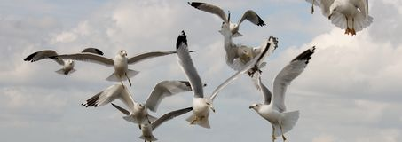 Ring billed gull (Larus delawarensis) in flight. A flock of ring billed gull (Larus delawarensis) flying in front of a beautiful blue sky Royalty Free Stock Photography