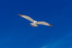 Ring-billed Gull. (Larus delawarensis) in flight Stock Photos