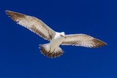 Ring-billed Gull. (Larus delawarensis) in flight Stock Photo